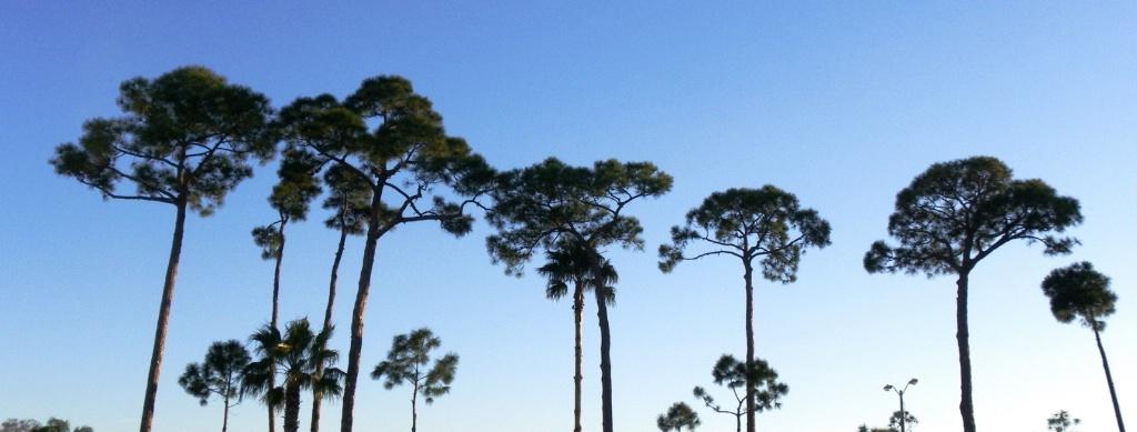 Pine Tree Sky