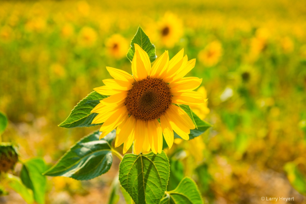 Sunflower in Provence