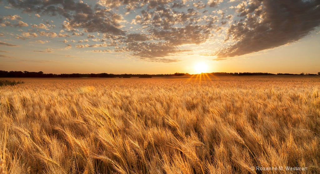 North Dakota ripened wheat field at sunset