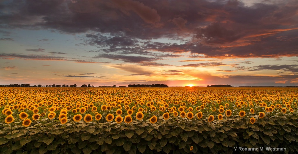 Blooming sunflowers in the sunset
