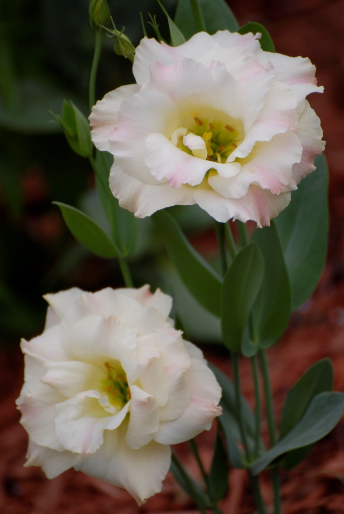 Lisianthus Pink Champagne