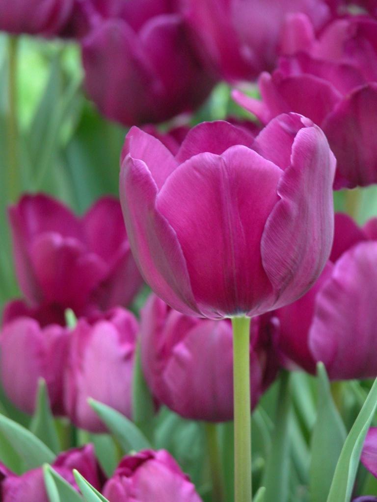 Tulip-Amongst Friends