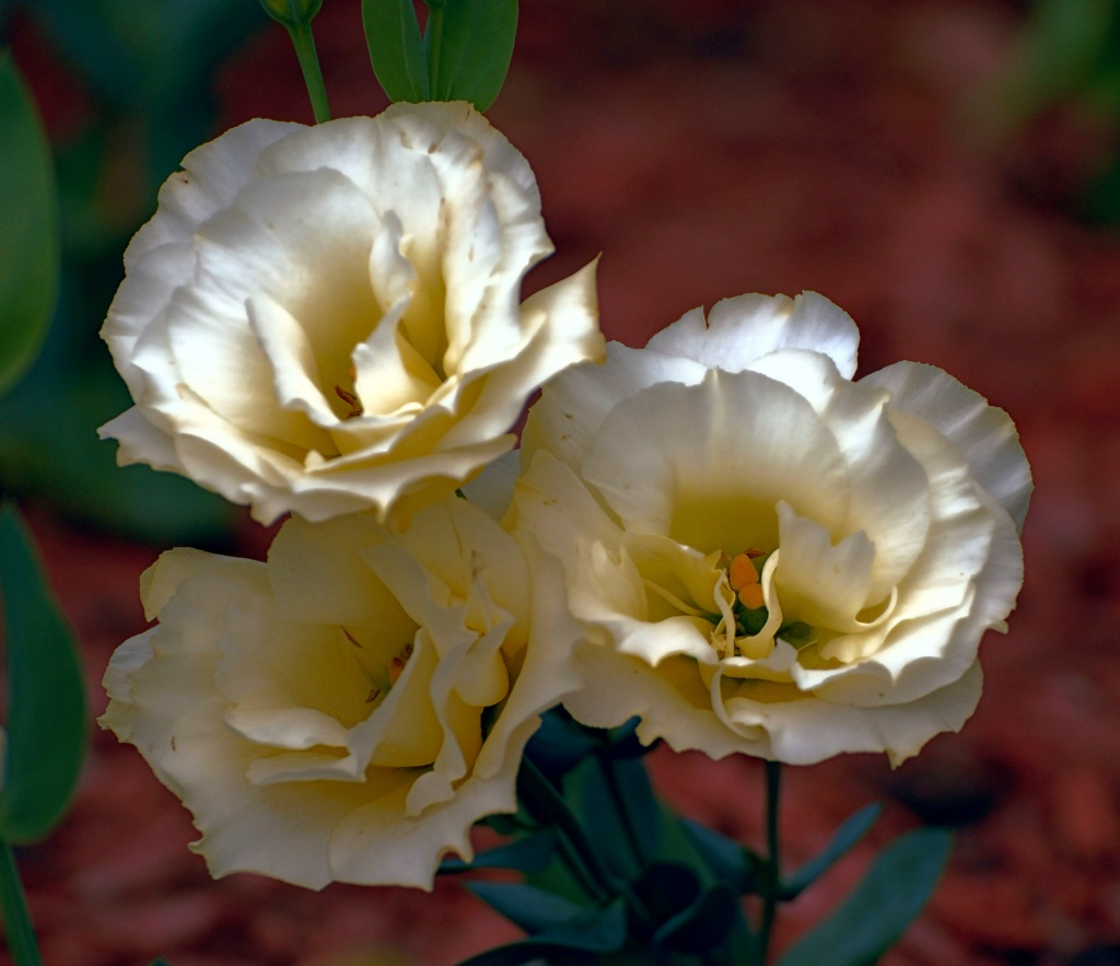 Lisianthus: Yellow
