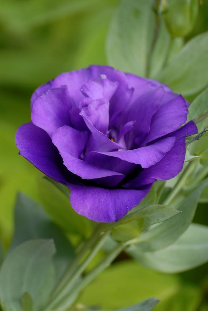 Lisianthus: Purple