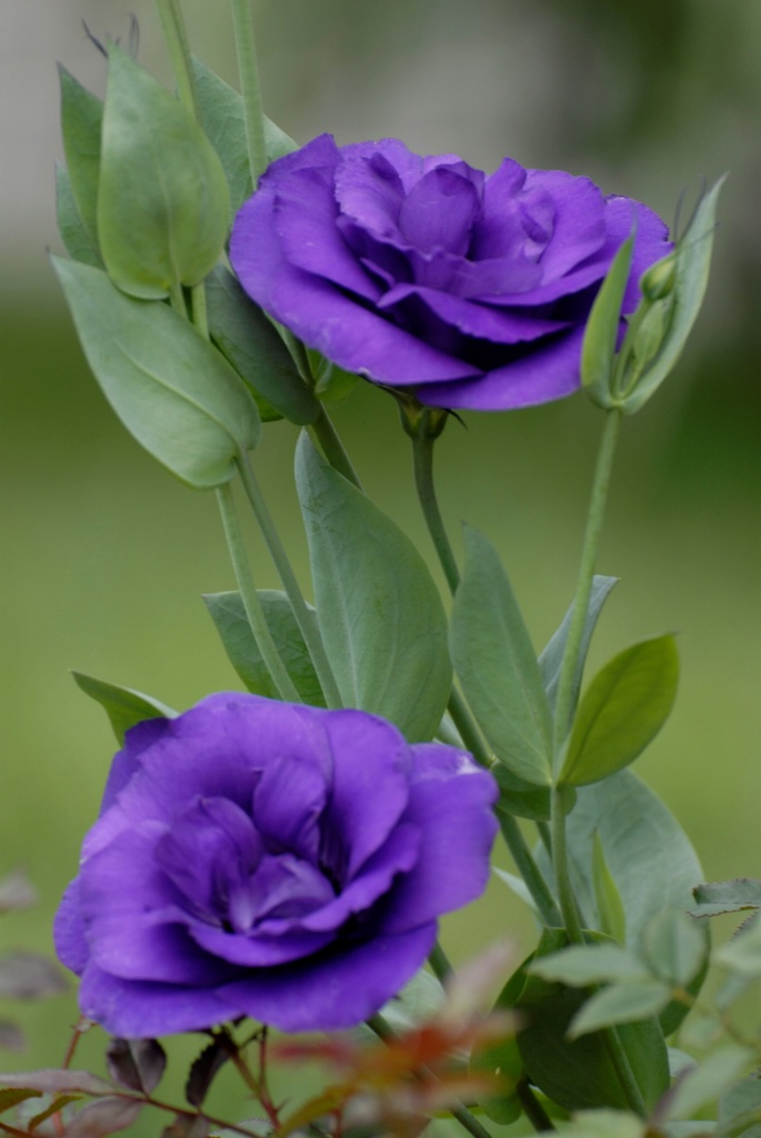 Lisianthus: Purple