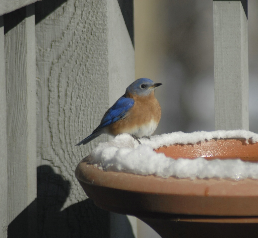 Backyard bluebird