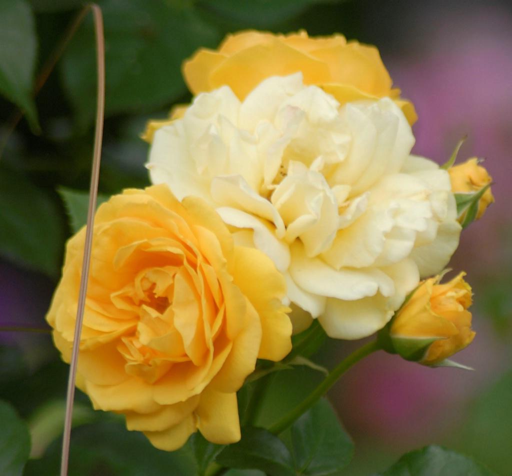 Floribunda Roses: Julia Child