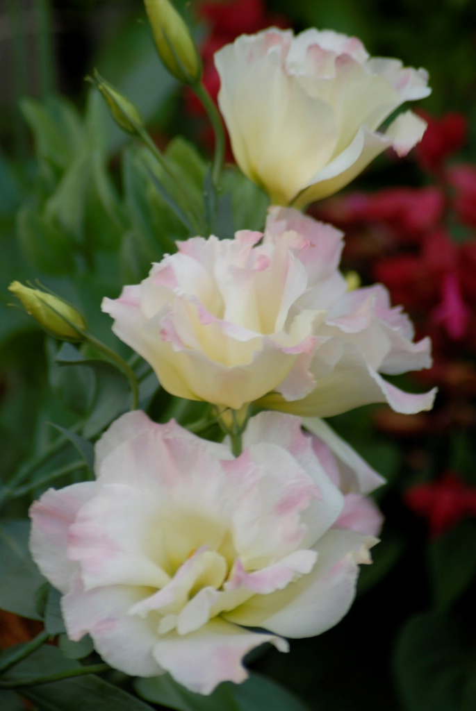 Lisianthus:Pink Champagne