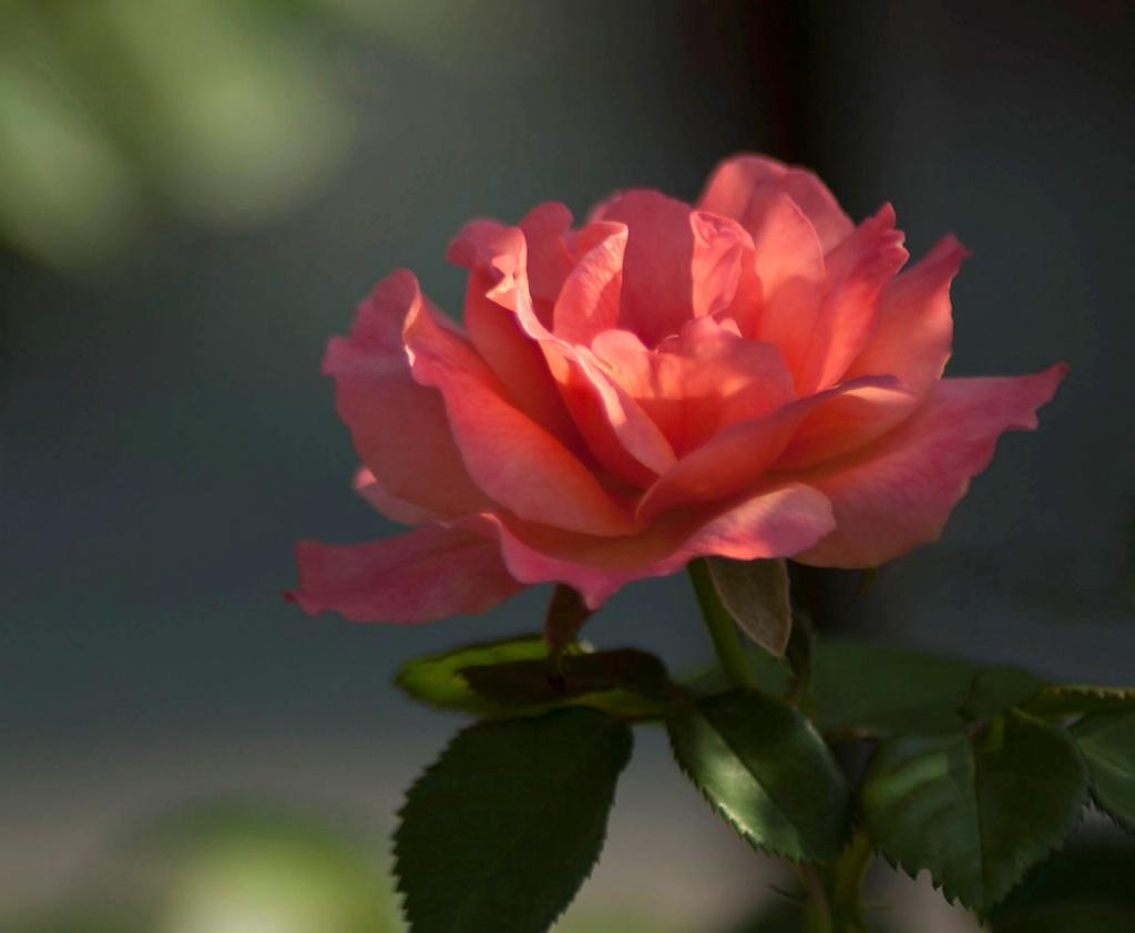 Floribunda Rose: Orange