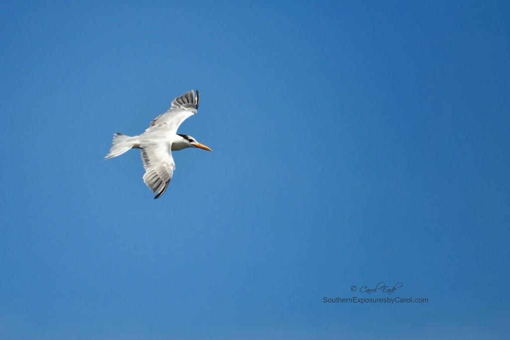 Royal Tern In Flight Over Guana River