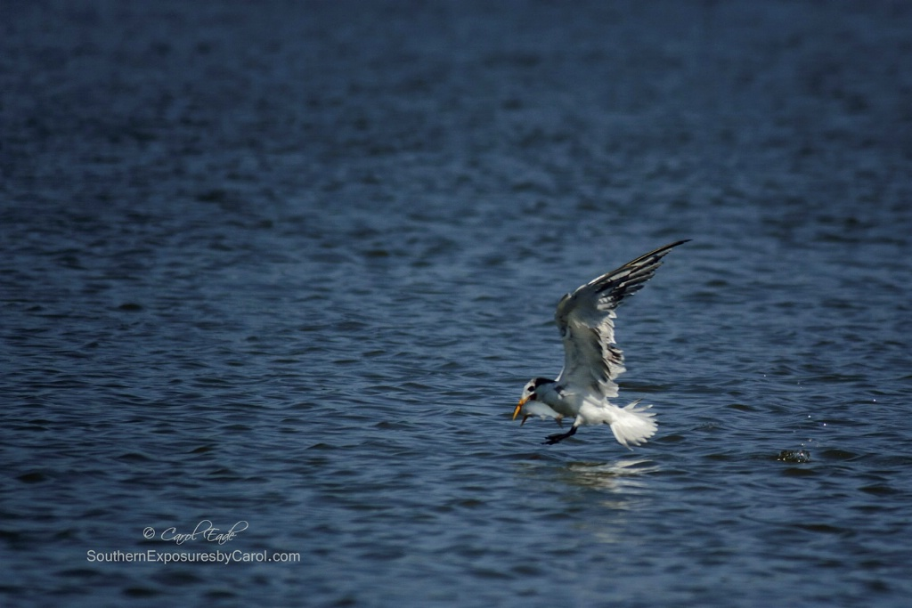 Royal Tern, Guana River