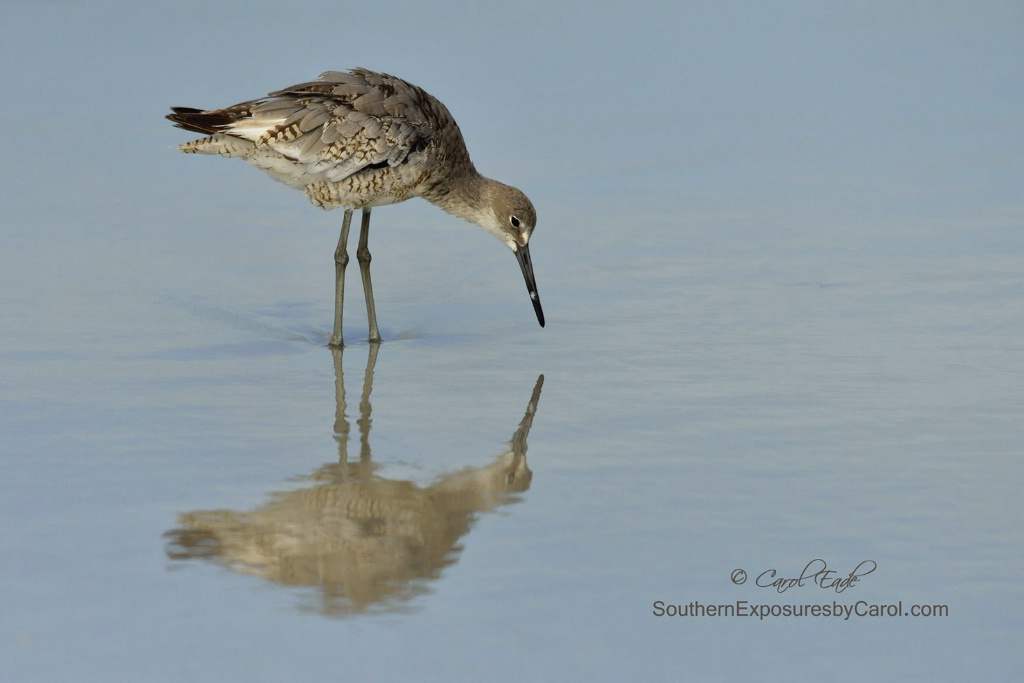 Reflecting Willet