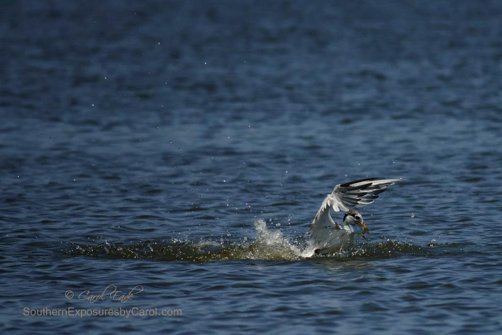 Royal Tern with Fresh Catch