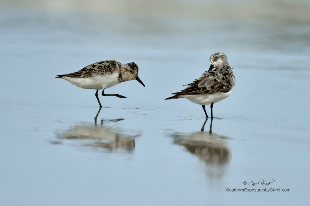 Sanderlings on the Shore