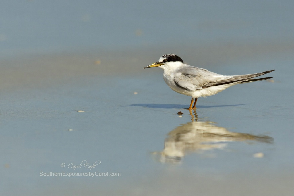 Least Tern with Afternoon Reflection