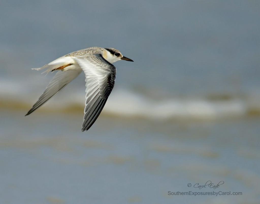 Least Tern in Flight