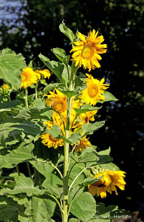 sunflower-4