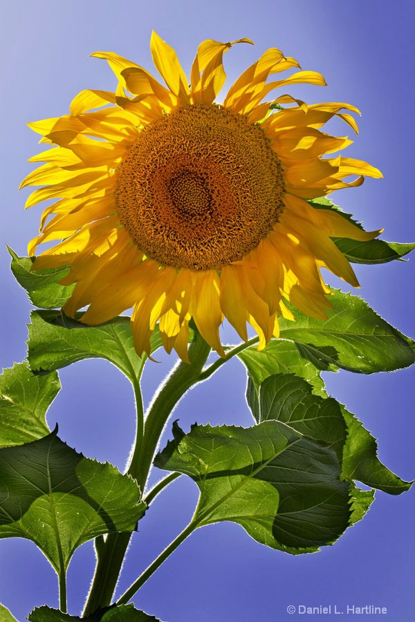 sunflower-7