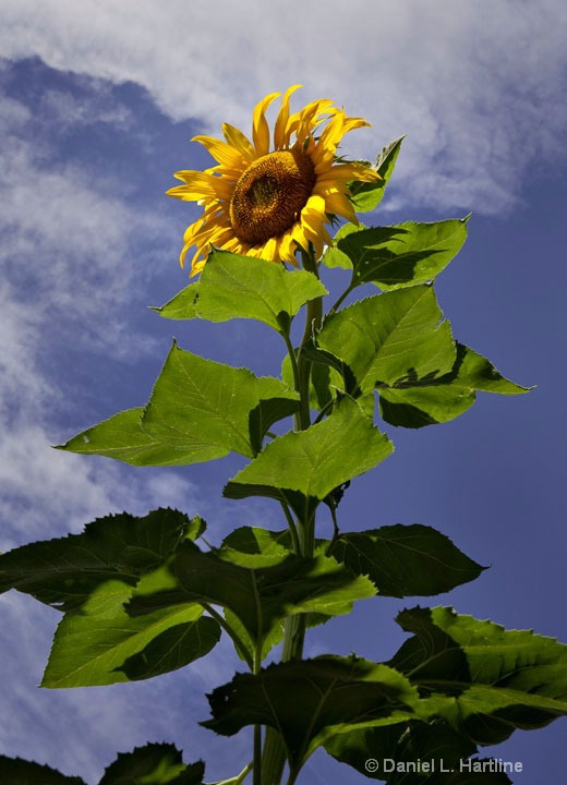 sunflower-9