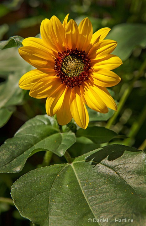 sunflower-10