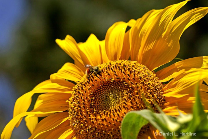 sunflower-12