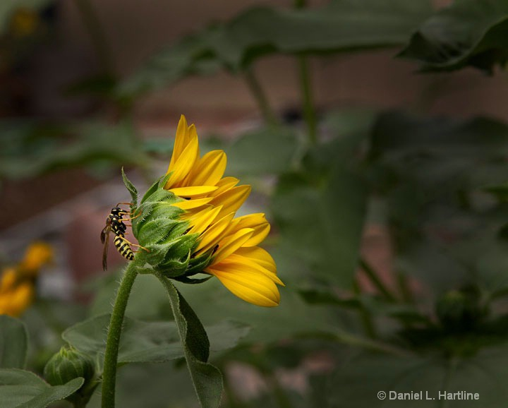 sunflower-20