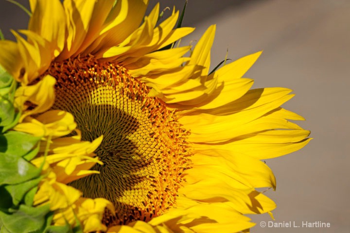 sunflower-32