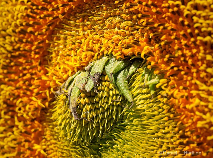 sunflower-33