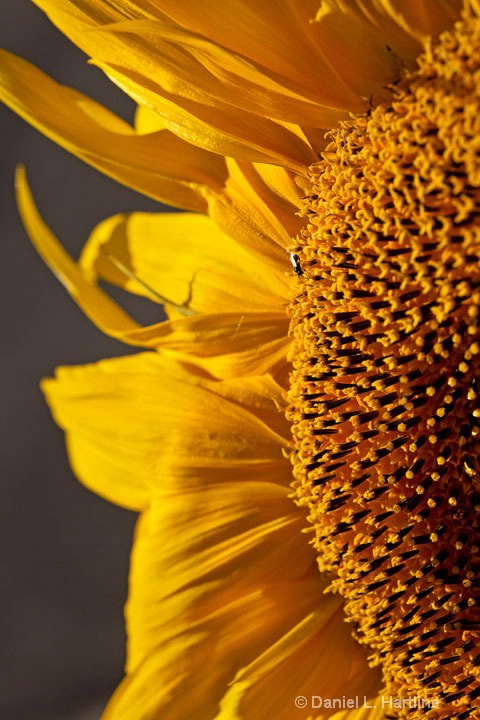 sunflower-39