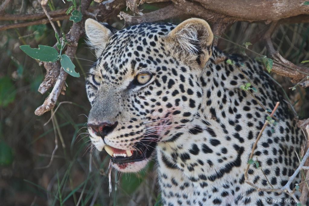 The Leopard in the Bush