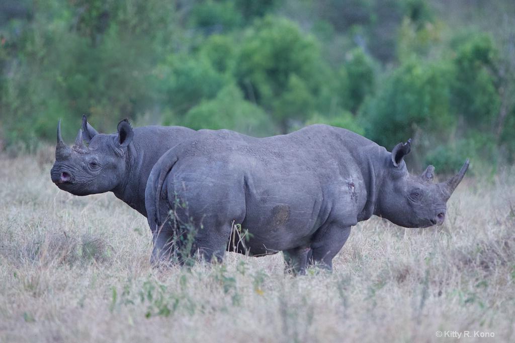 Two Headed Rhino 2