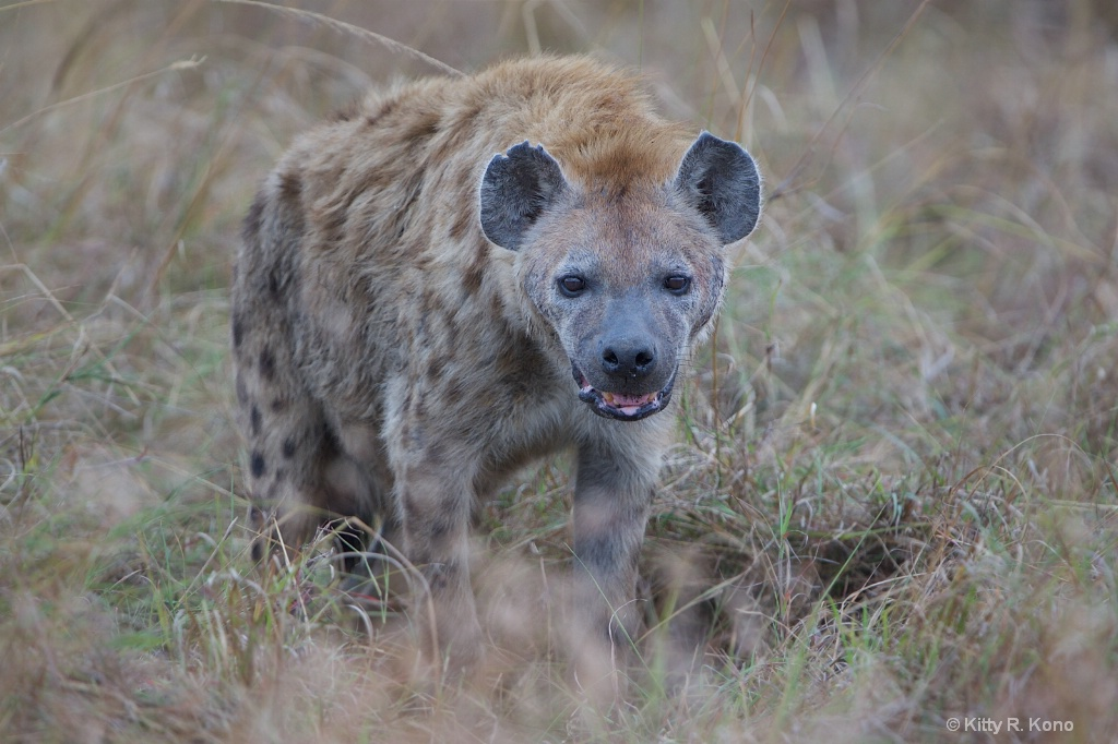 Spotted Hyena with Tattered Ear