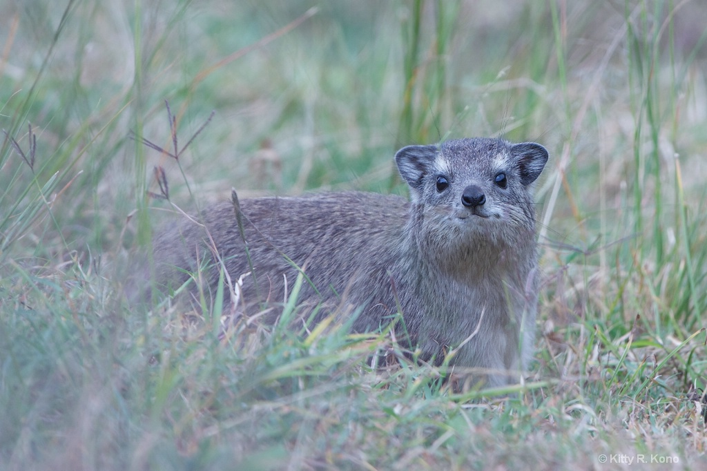 Rock Hyrax with Overbite