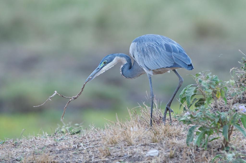 Gray Heron with Stick - Samburu Kenya