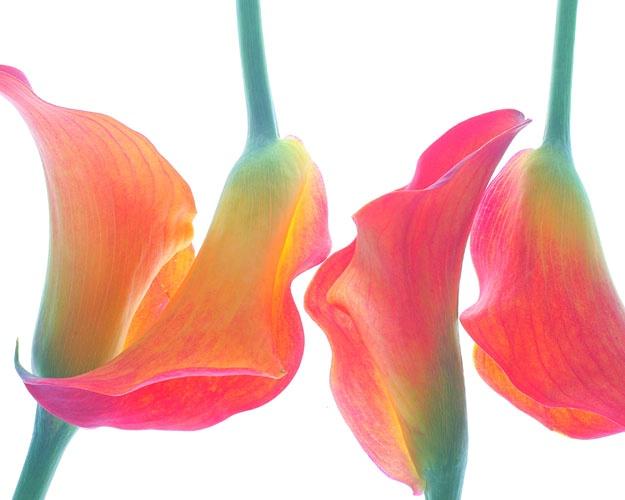 Tulip on white 2