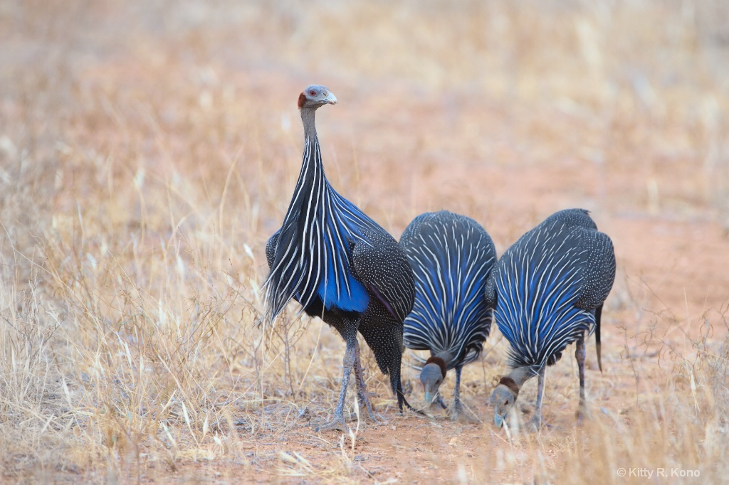 Vulturine Guineafowl  Samburu Kenya