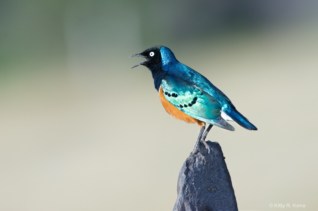 Common but Uncommonly Beautiful Superior Starling
