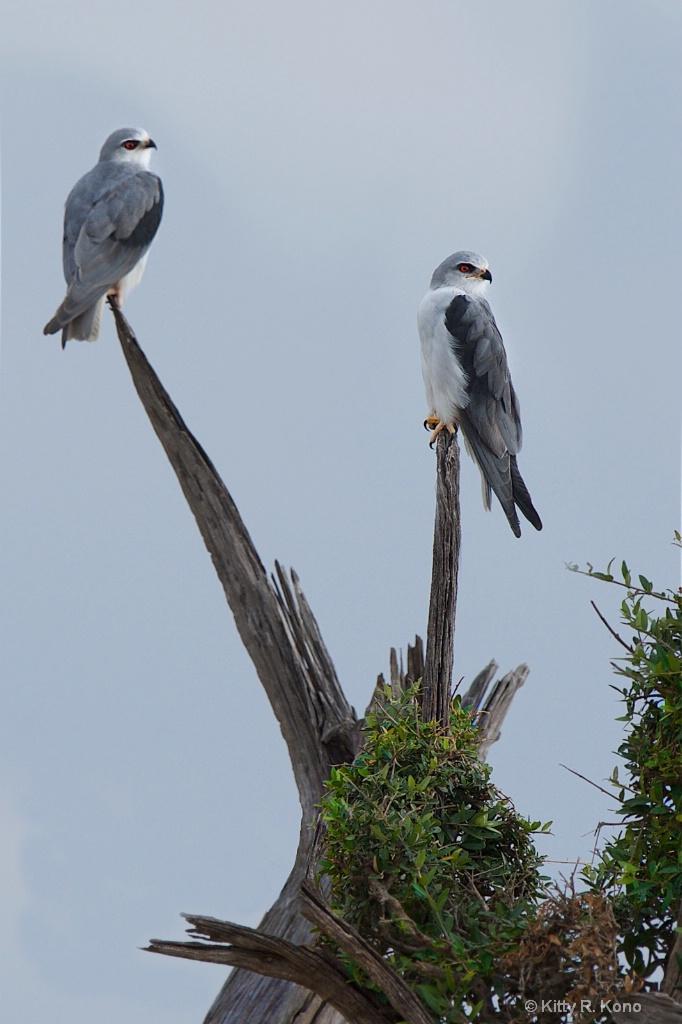 Black Shouldered Kites - Samburu, Kenya