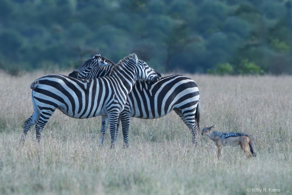 Zebra Back Kissing with Jackal Standing Guard