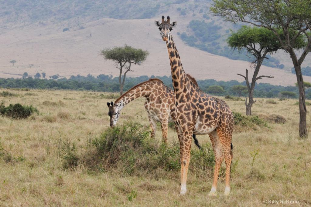 Giraffes in Samburu Kenya