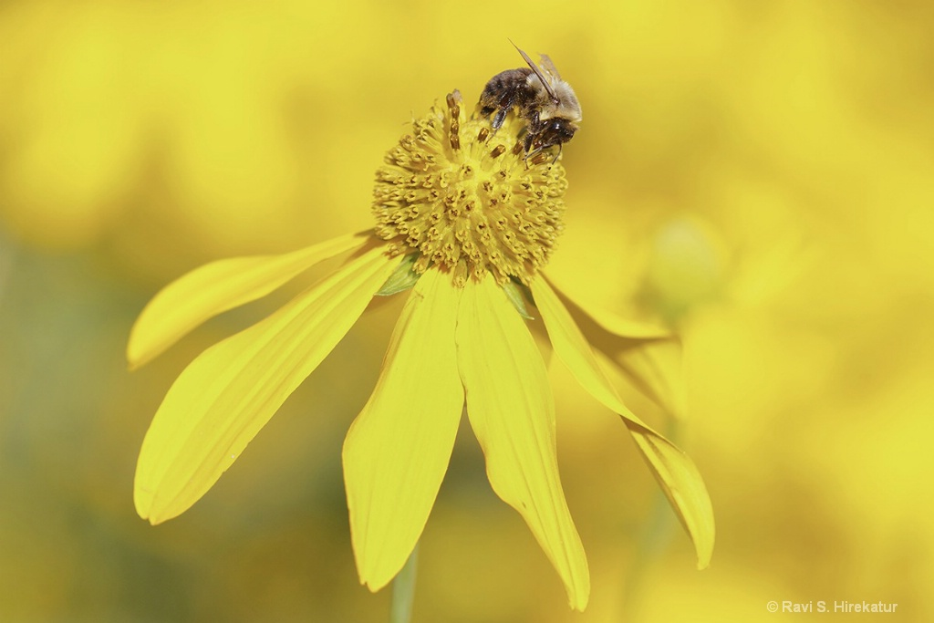 Bumblebee on Jerusalem Artichoke Flower