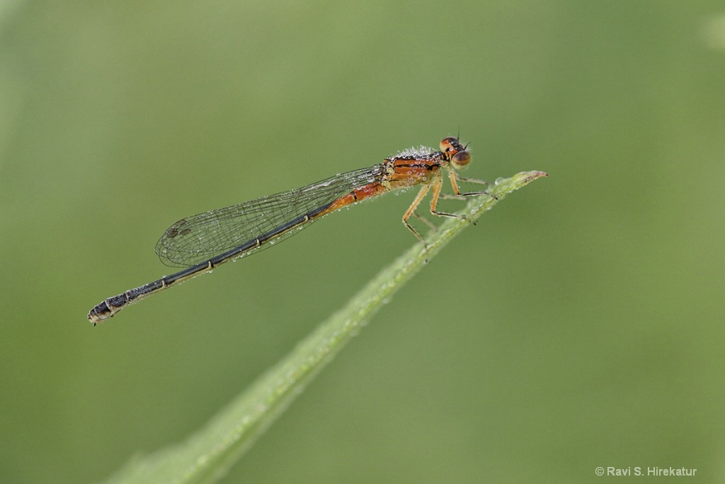 Red Bluet Damselfly