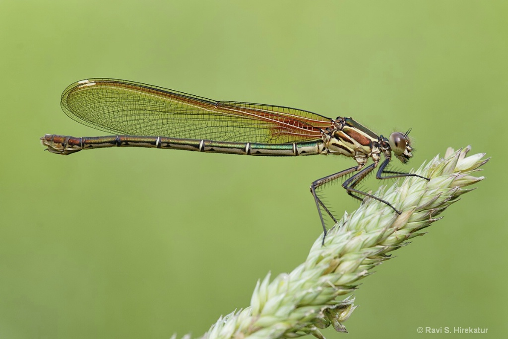 Ruby spot Damselfly