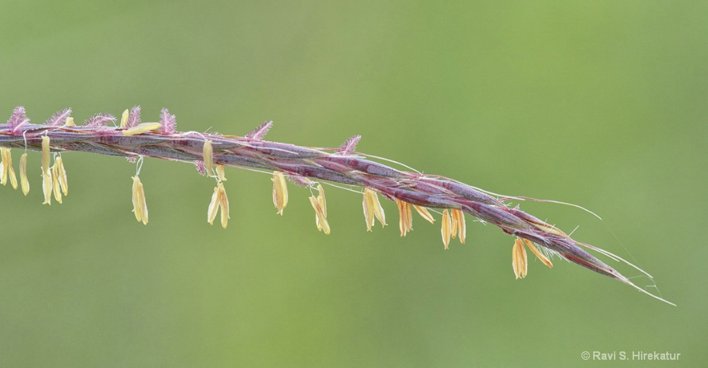 Indiangrass flowers