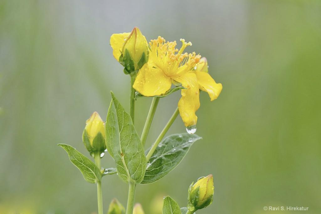 Kalm's St. John's Wort Flower