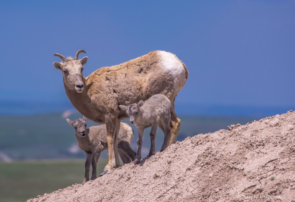 Bighorn Sheep Mother & young
