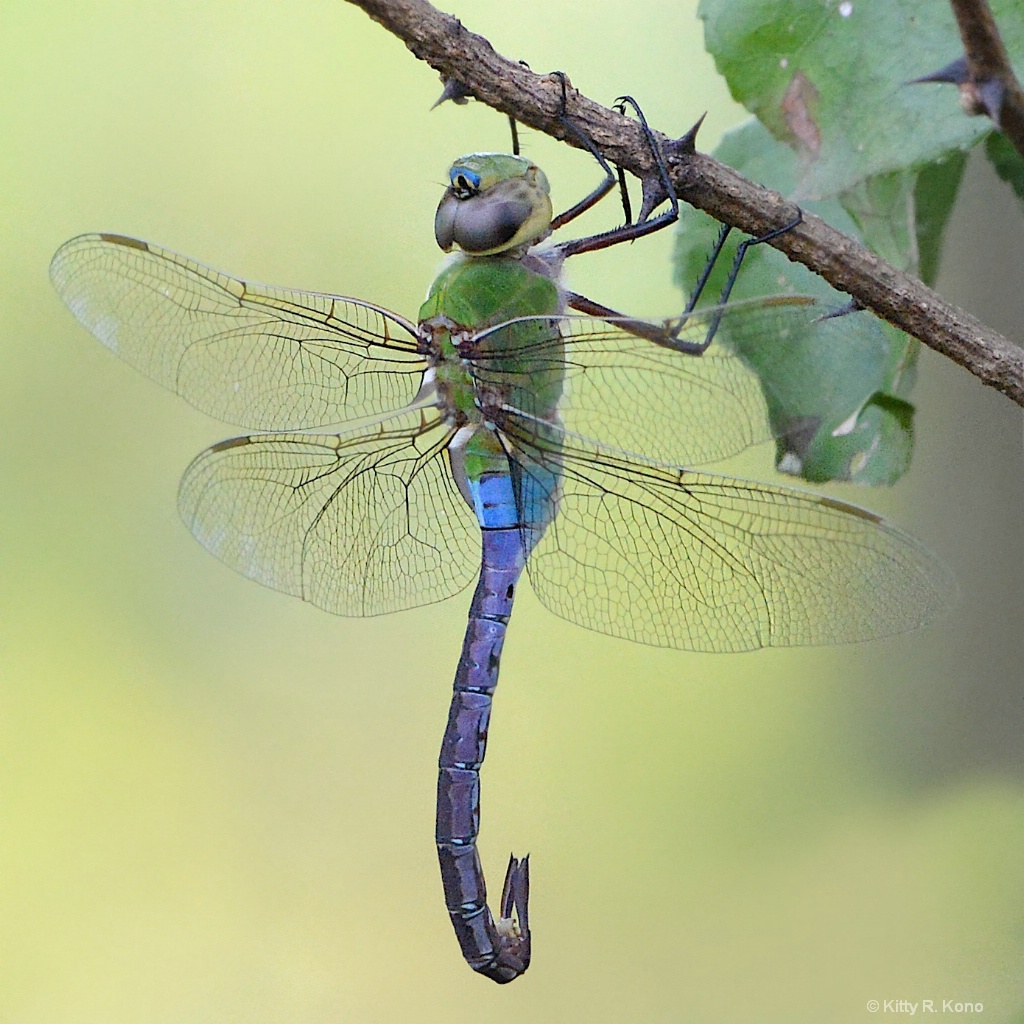 Green Darner Dragon Fly with Curved Tail