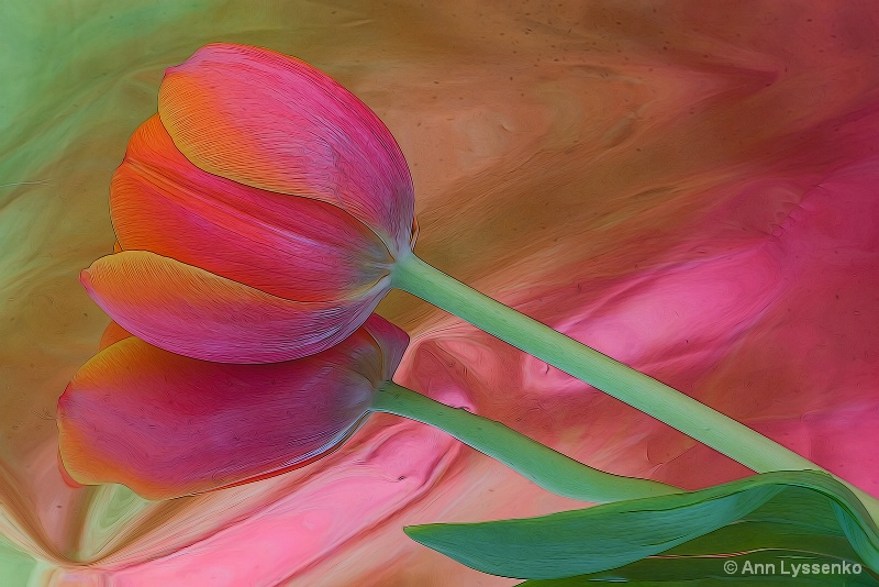 Pink Tulip Reflection