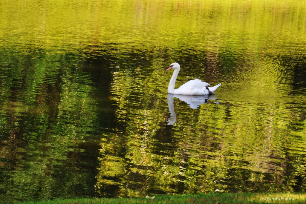 Swan on Golden Pond