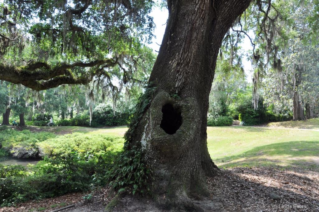 Knotty Oak Tree